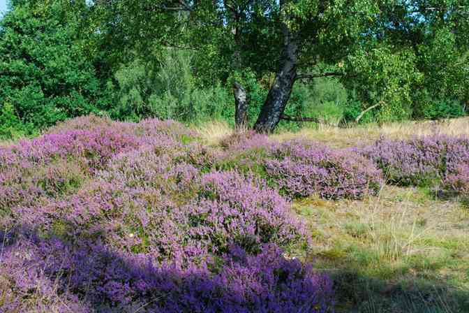 Heide im Wittmoor