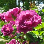 Historische Rose