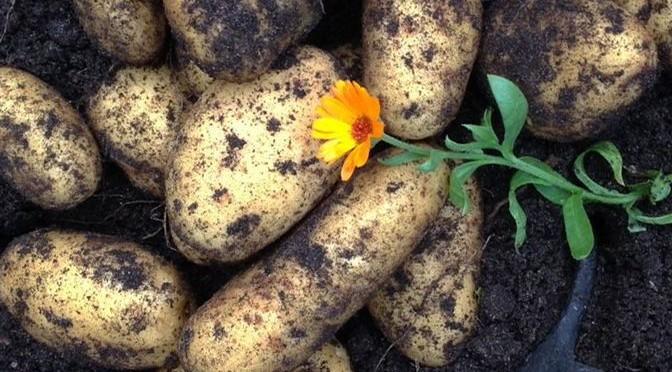 Wulksfelder Kartoffelmarkt