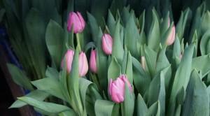 Tulpen im Gewächshaus