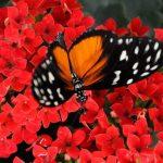 Falter auf Blüte