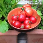 Gepflückte Tomaten in Keramikschale