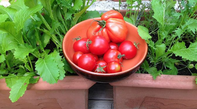 Die Tomaten sind reif