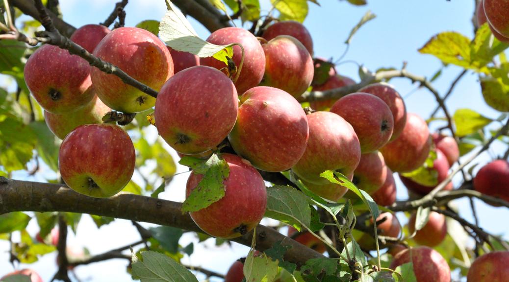 Ast mit reifen Äpfeln