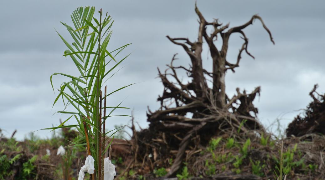Sprössling einer Palmölpflanze in gerodetem Gebiet