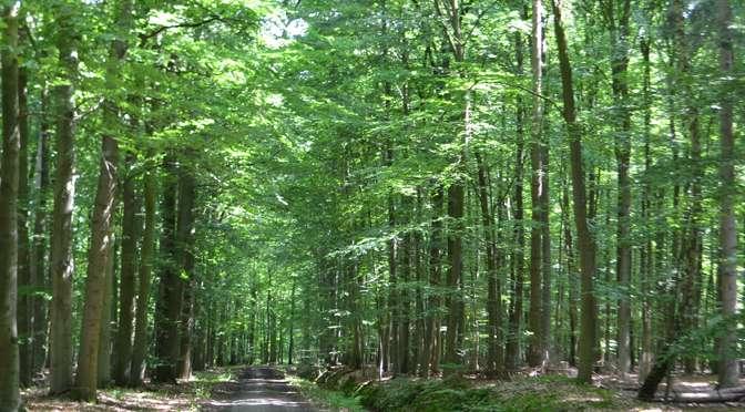 Buchenhochwald in der Bekow